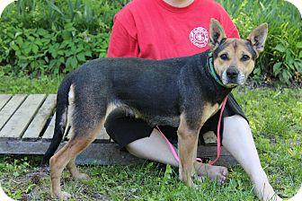 Pit Bull Terrier/German Shepherd Dog Mix Dog for adoption in Starkville, Mississippi - Carmen