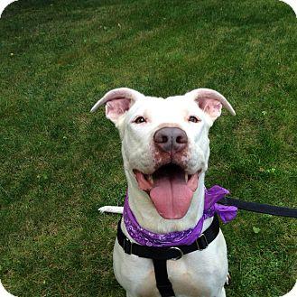 Angel   Adopted Dog   Waterford, CT   American Bulldog ...