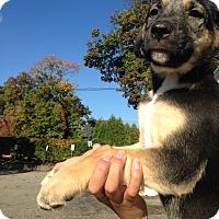 Adopt A Pet :: German Shepherd Girl - Pompton Lakes, NJ