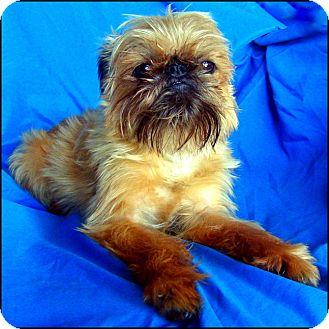 Brussels Griffon/Affenpinscher Mix Dog for adoption in St. Paul, Minnesota - MINNESOTA HELP NEEDED