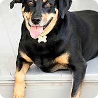 Black and Tan Coonhound/Doberman Pinscher Mix Dog for adoption in Caldwell, New Jersey - May ~ Southern Belle!