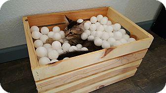 Domestic Mediumhair Kitten for adoption in Yuma, Arizona - Jiggs