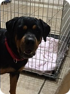 Rottweiler Dog for adoption in Cutler Bay, Florida - Angel