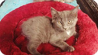 Manx Kitten for adoption in Cerritos, California - Annabel