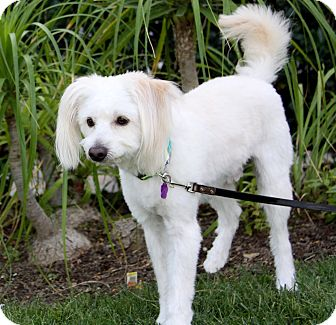 Poodle (Miniature)/Maltese Mix Dog for adoption in Newport Beach, California - NEVILLE