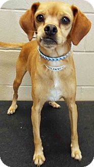 Pug/Chihuahua Mix Dog for adoption in Channahon, Illinois - Dilly