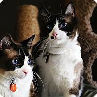 Siamese Cat for adoption in Palmdale, California - Kona & Kahlua