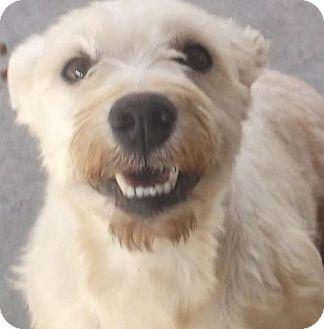 Miniature Schnauzer Dog for adoption in Bonifay, Florida - Snowy