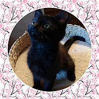 Adopt A Pet :: Baby Pumpkin - Akron, OH