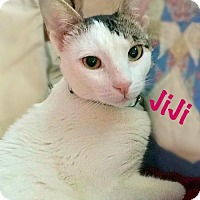 Adopt A Pet :: JiJi (Egyptian Mau) - York, PA