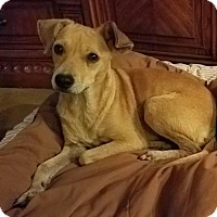 Terrier (Unknown Type, Medium)/Beagle Mix Dog for adoption in San Antonio, Texas - Lil Red