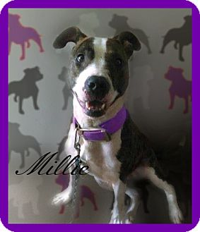 American Pit Bull Terrier Dog for adoption in Des Moines, Iowa - Millie