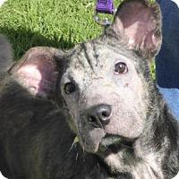 Adopt A Pet :: Quincy - West Los Angeles, CA