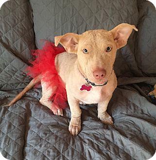 Basset Hound/Terrier (Unknown Type, Medium) Mix Dog for adoption in Mount Laurel, New Jersey - Blondie