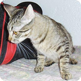 Bengal Cat for adoption in Glendale, Arizona - Leah