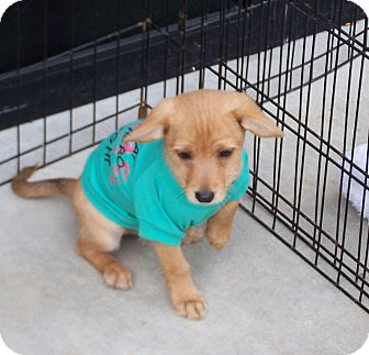 Terrier (Unknown Type, Small) Mix Puppy for adoption in Greensboro, Georgia - Seth