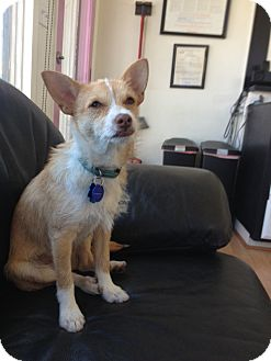 Jack Russell Terrier Mix Dog for adoption in Van Nuys, California - Jack