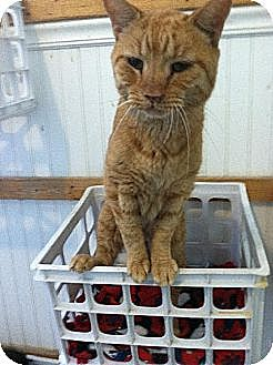 Domestic Shorthair Cat for adoption in Colfax, Illinois - Elvis