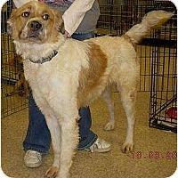 Adopt A Pet :: Bailee - Lucerne Valley, CA