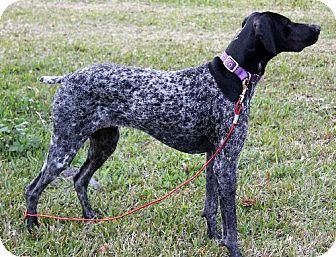 ... Dog | 8163840 | New Smyrna beach, FL | German Shorthaired Pointer