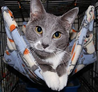 Domestic Shorthair Cat for adoption in Wilmington, Delaware - Marvin