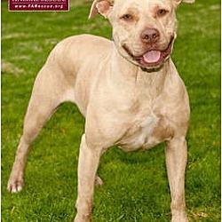 Photo 3 - American Staffordshire Terrier Mix Dog for adoption in Marina del Rey, California - Dior