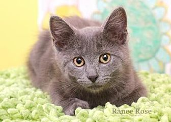 Domestic Mediumhair Kitten for adoption in Sterling Heights, Michigan - Kiara
