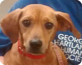 Dachshund Dog for adoption in Newnan, Georgia - Zoom