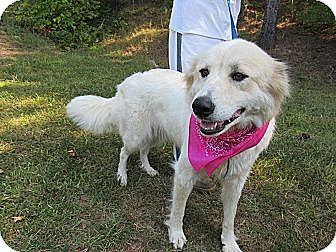 Great Pyrenees Mix Dog for adoption in Laingsburg, Michigan - LAYLA