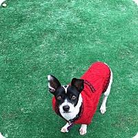 Adopt A Pet :: Chico - Duchess, AB