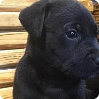 Adopt A Pet :: Lollie - Kaufman, TX