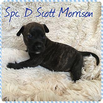 Pit Bull Terrier Mix Puppy for adoption in Newport, Kentucky - Spec D Scott Morrison