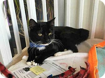 Domestic Mediumhair Cat for adoption in Canfield, Ohio - KRAMPUS