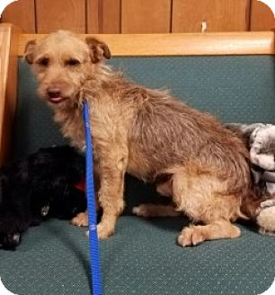 Terrier (Unknown Type, Medium) Mix Dog for adoption in Gustine, California - RUSTY