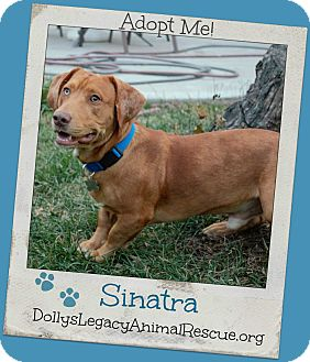 Basset Hound/Labrador Retriever Mix Dog for adoption in Lincoln, Nebraska - SINATRA