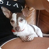 Chihuahua Mix Dog for adoption in Chicago, Illinois - Lizzy