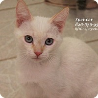 Adopt A Pet :: A Kitten Boy: SPENCER - Monrovia, CA