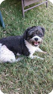 Shih Tzu Mix Dog for adoption in Dallas, Texas - Oliver