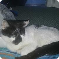 Adopt A Pet :: Domino - Griffin, GA