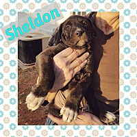 Adopt A Pet :: Sheldon - Newcastle, OK