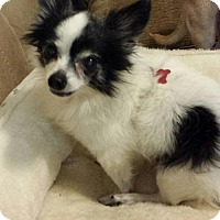 Chihuahua Dog for adoption in Franklin, Tennessee - MR. PEANUT