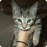 Adopt A Pet :: Elvira - New Smyrna Beach, FL