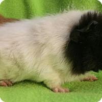 Adopt A Pet :: Neo - Steger, IL