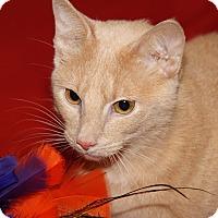 Adopt A Pet :: Punkin (Spayed & Declawed) - Marietta, OH
