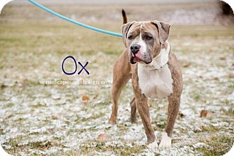Pit Bull Terrier Dog for adoption in Kendallville, Indiana - Ox