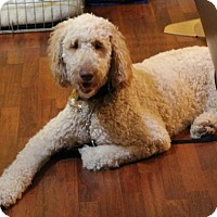 Adopt A Pet :: Lincoln Doodle - Kennesaw, GA