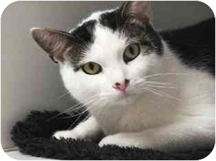 Domestic Shorthair Cat for adoption in Norwalk, Connecticut - Patch