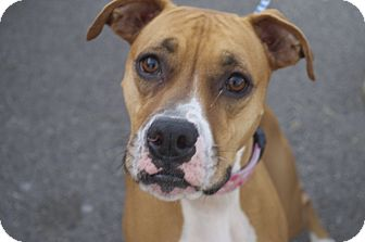 Boxer Mix Dog for adoption in New Cumberland, West Virginia - Shena