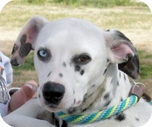 Dalmatian Dog for adoption in Turlock, California - Tink