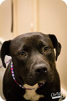 Staffordshire Bull Terrier Rescue Oregon Mariah | Adopted Dog |...